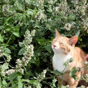 Catnip cho mèo sẽ kích thích khiến mèo khạc nhổ lông ra khỏi cơ thể giúp hạn chế một số bệnh xảy ra ở đường tiêu hóa như đầy hơi, chướng bụng, giảm stress...