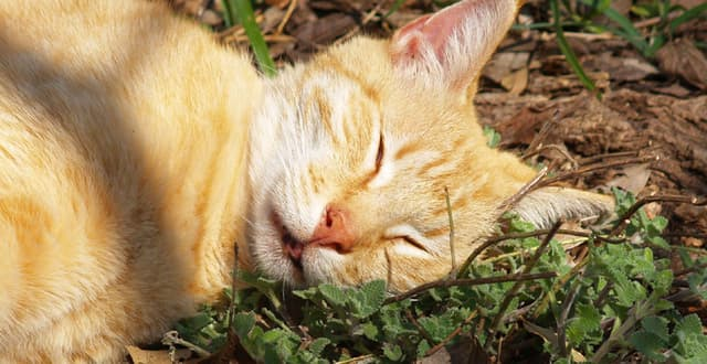 Catnip không phải là chất gây nghiện mà giúp kích thích lũ mèo hưng phấn, thư giãn cũng như giúp con người chống lại lũ côn trùng gây hại