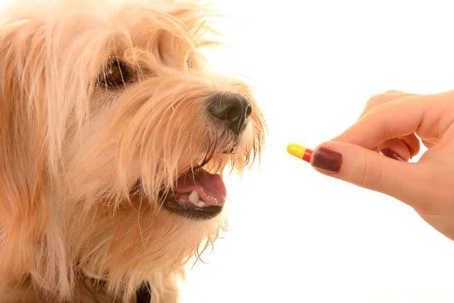 Hai cách tẩy giun cho cún được nhiều người ưa chuộng nhất