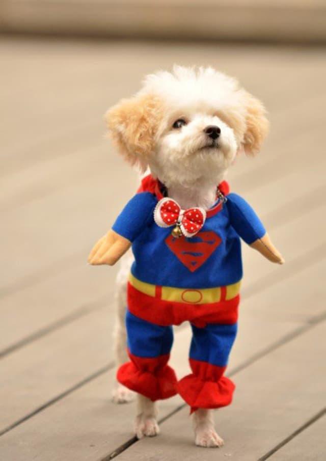Hãy mặc quần áo cho chó ngay từ khi còn nhỏ để chúng thích nghi và cảm thấy thoải mái với những bộ quần áo