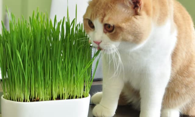 Không nên cho mèo sử dụng quá nhiều cỏ bạc hà vì dễ gây ra tình trạng mất phản ứng với cỏ và sử dụng quá liều sẽ khiến mèo khó thở