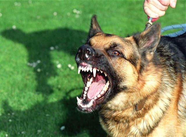 Sau khi tiêm phòng chó vẫn có khả năng mắc bệnh dại vì nhiều nguyên nhân