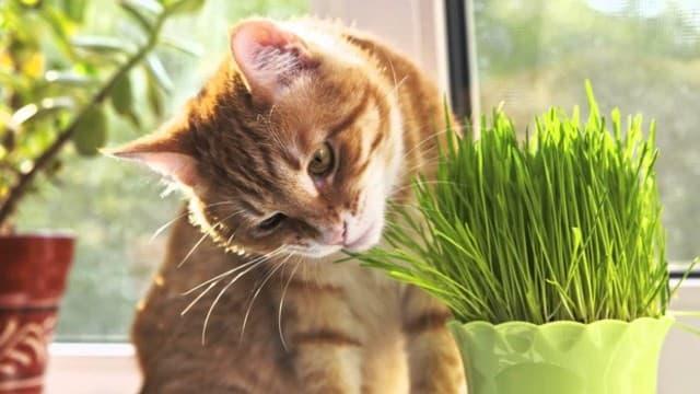 Sau một thời gian sử dụng khoảng 5 - 15 phút mèo sẽ có biểu hiện thay đổi hành vi cụ thể là hắt hơi, nhai, lăn lộn trên đất, sử dụng mặt để cạ vào các mặt phẳng