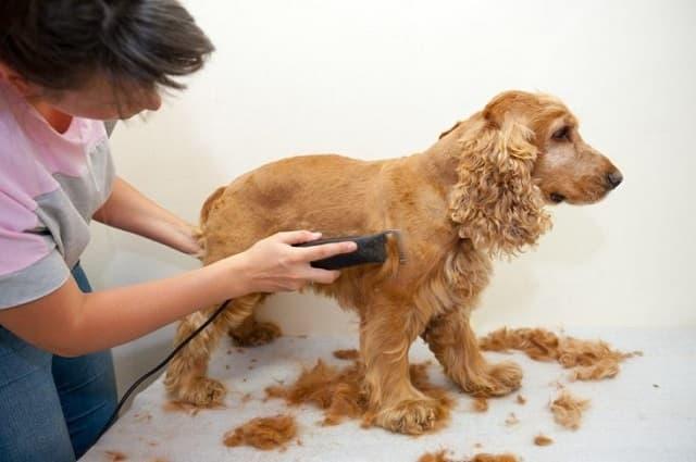 Cắt tỉa lông chó đúng cách