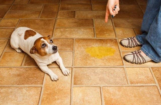 Không nên trừng phạt khi chó lỡ đi bậy ở trong nhà