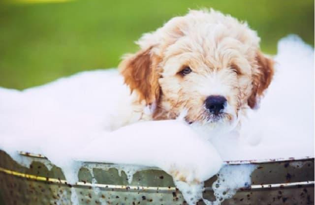 Lợi ích của sữa tắm cho chó đem lại