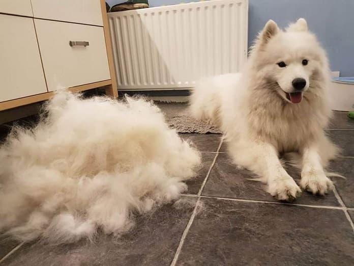 Nguyên nhân khiến chó bị rụng lông