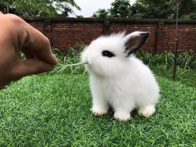 Thỏ cảnh