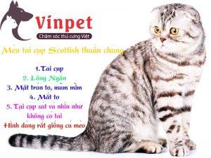 Đặc điểm nhận biết của mèo tai cụp Scottish Fold