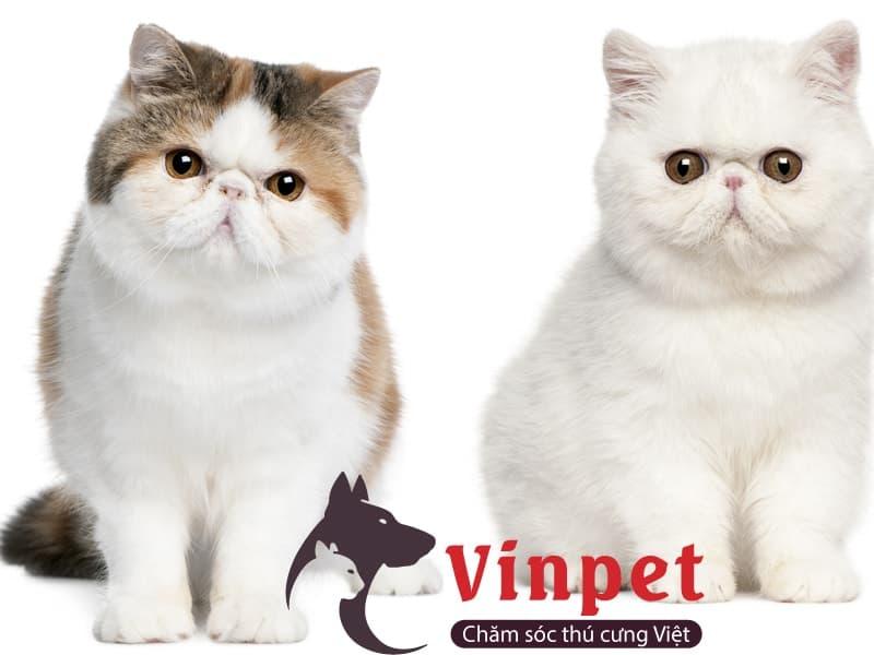 Đặc điểm nổi bật của mèo ba tư