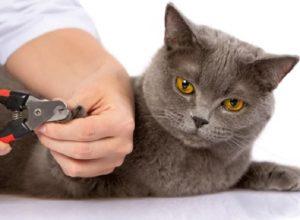 Cắt móng của mèo để phòng tránh mèo cào xước da của chủ hoặc cào rách vật dụng trong nhà