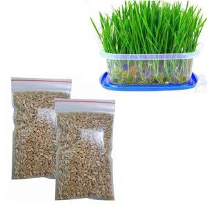 Hạt giống cỏ mèo là loại hạt giống trồng thành cỏ cho mèo ăn - Cam kết mọc 100%, cách trồng đơn giản, dễ làm