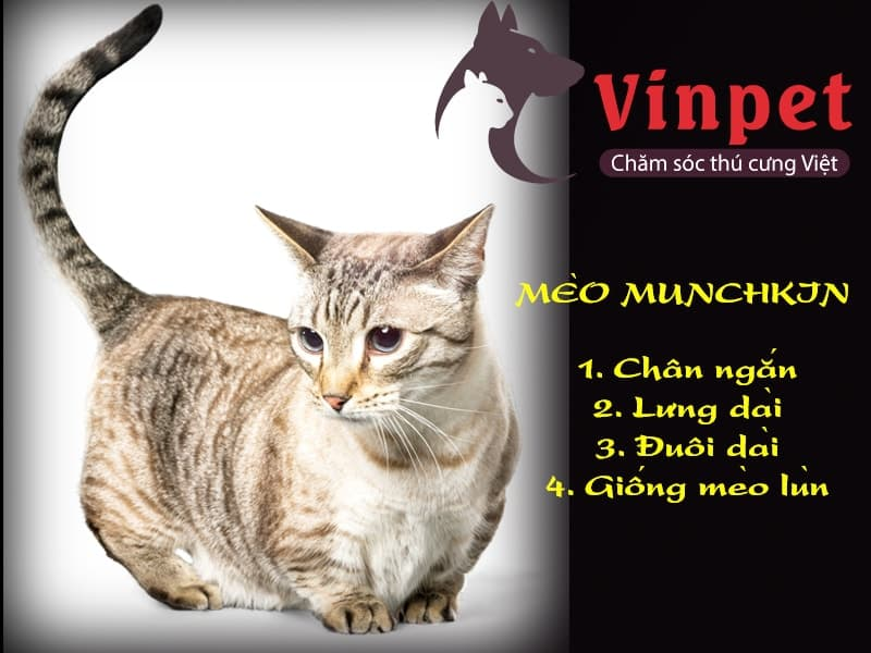 Cách chăm sóc mèo Munchkin chân ngắn dễ dàng