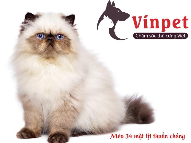 Nhận biết mèo Ba Tư mặt tịt thuần chủng