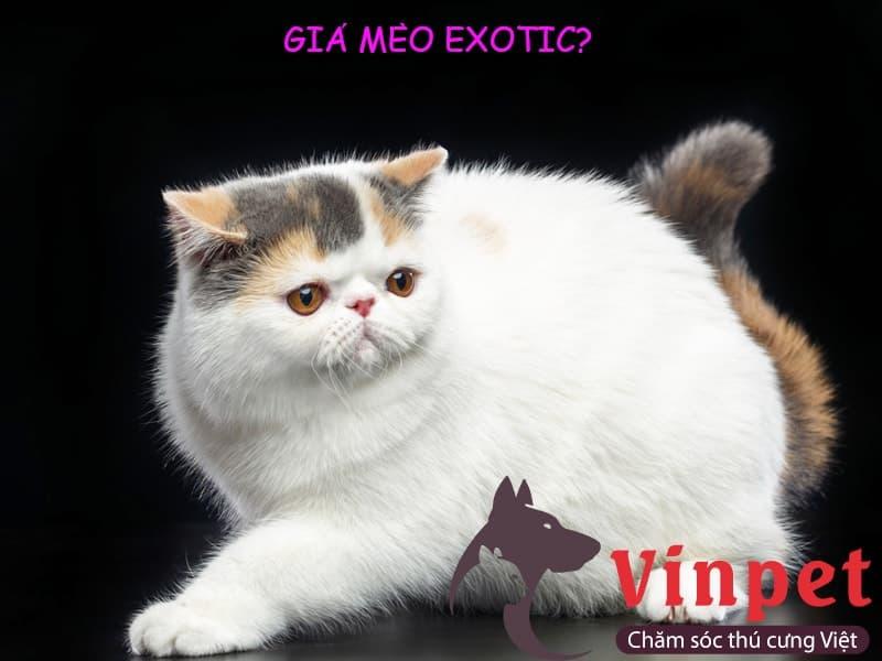 Mèo Exotic giá bao nhiêu