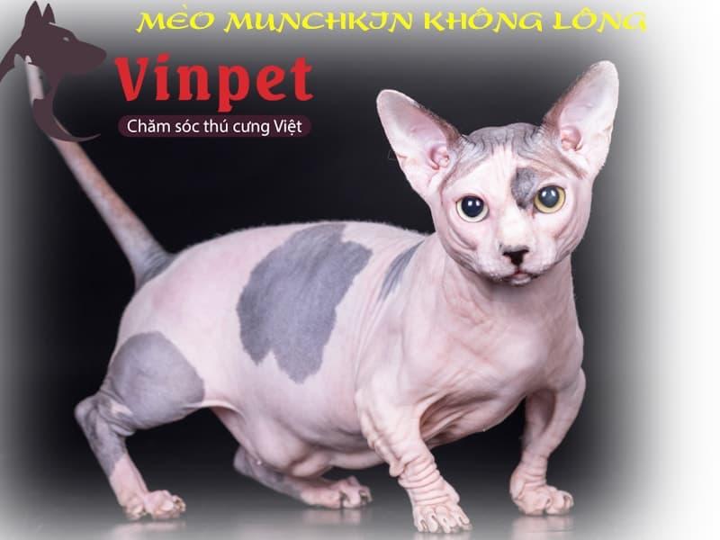 Mèo Munchkin chân ngắn có giá bán tùy thuộc vào nguồn gốc xuất sứ, thuần chủng hay không?