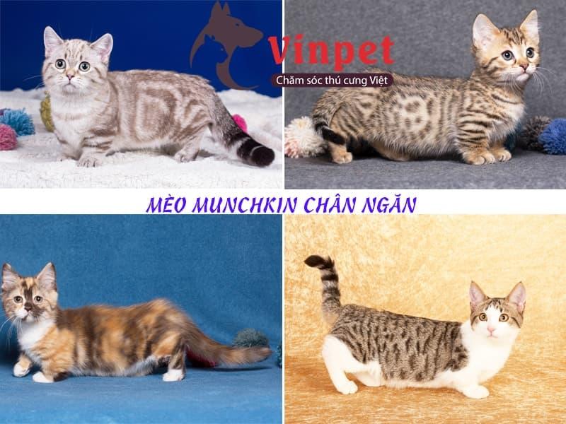Có nhiều loại mèo Munchkin chân ngắn