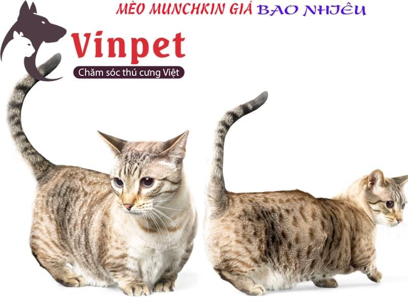 Tắm rửa, vệ sinh cho mèo Munchkin phải đặc biệt chú ý