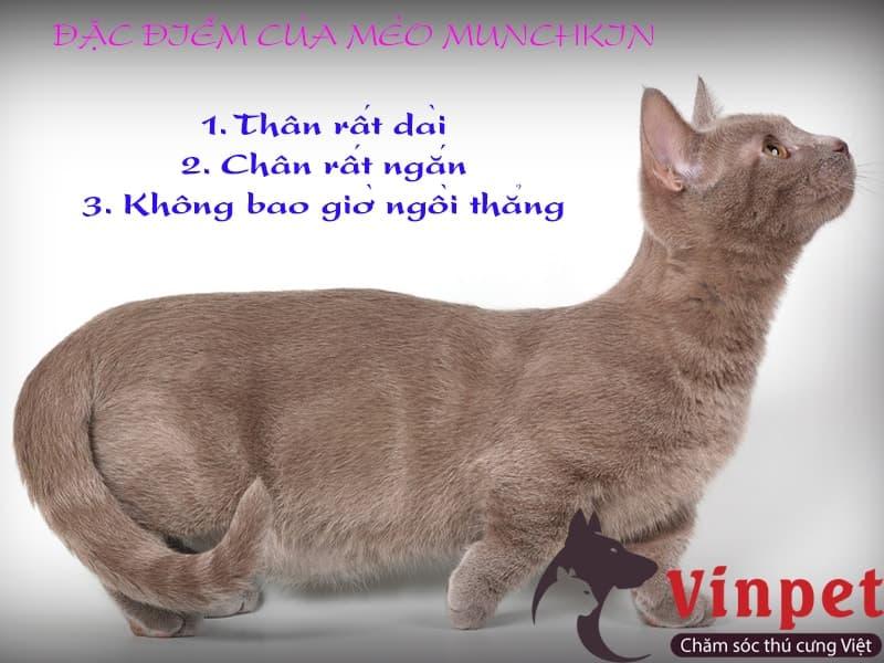 Cách nhận biết mèo chân ngắn Munchkin thuần chủng