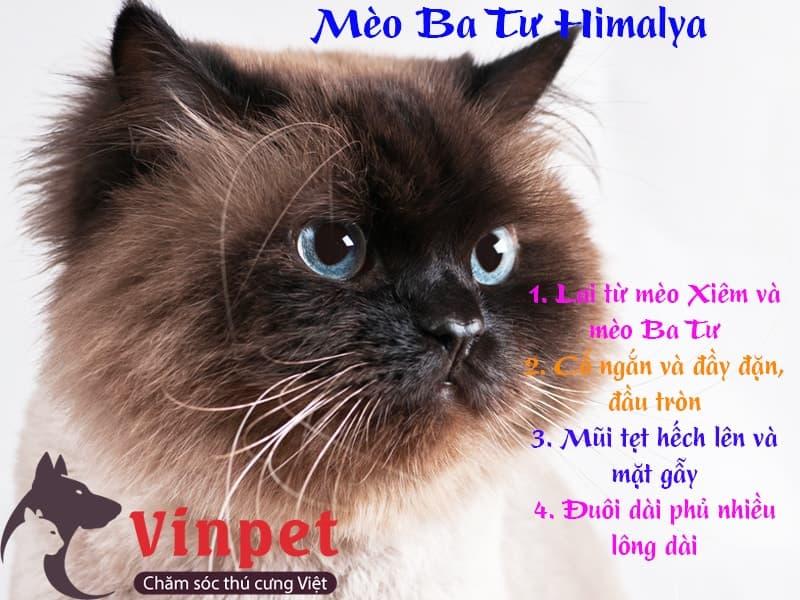 Mèo Ba Tư Himalaya