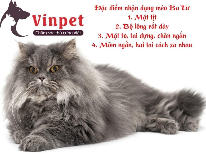 Mua mèo Ba Tư mặt tịt giá bao nhiêu và cách chọn mua?