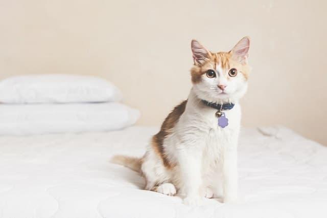 Nên kiểm tra vòng cổ cho bé mèo 2 tuần / lần để đảm bảo an toàn cũng như kích thước của vòng không gây khó chịu cho thú cưng