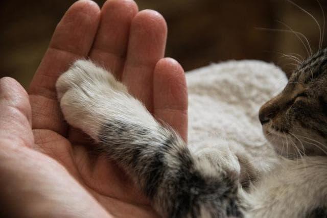 Trước khi cắt móng bạn cần vuốt ve, âu yếm bàn chân của mèo để chúng quen dần và không phản ứng tiêu cực trong lúc cắt