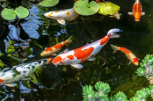 Cá Koi là giống cá của Nhật và là biểu tượng may mắn cho Nhật
