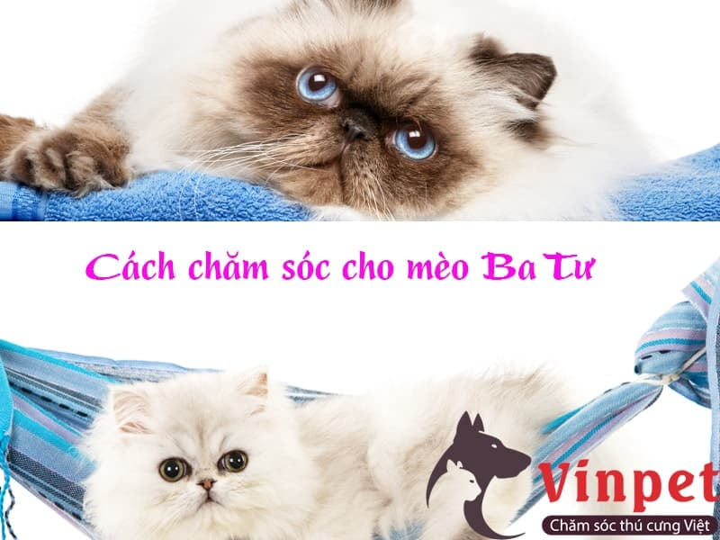 Cách chăm sóc mèo Ba Tư chuẩn kỹ thuật