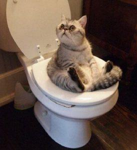 Cách dạy mèo đi vệ sinh đúng chỗ không phải ai cũng biết