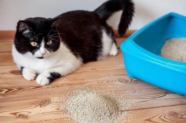 Cách huấn luyện mèo đi vệ sinh vào khay