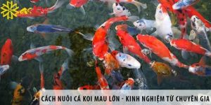 Cách nuôi cá Koi mau lớn và phát triển nhanh nhất