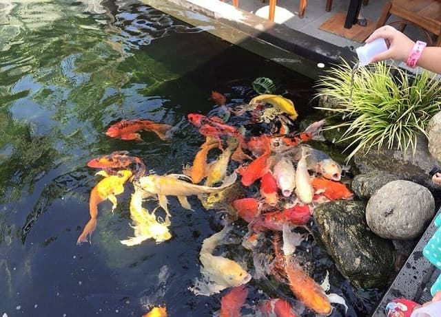 Cho cá ăn theo từng giai đoạn và đúng cách để cá được sinh trưởng tốt nhất