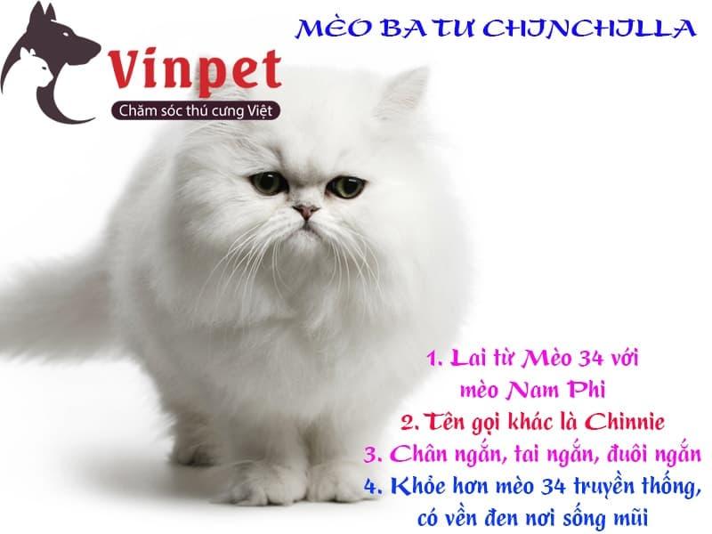 Nhận biết mèo Ba Tư Chinchilla