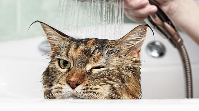 Mèo nên được tắm rửa hàng tuần