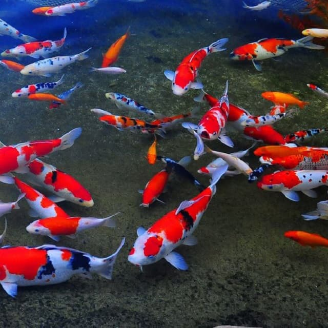 Một vài thông tin về cá Koi