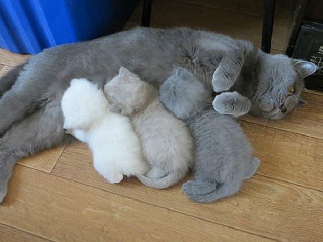 Sữa mẹ giúp mèo con tăng khả năng miễn dịch